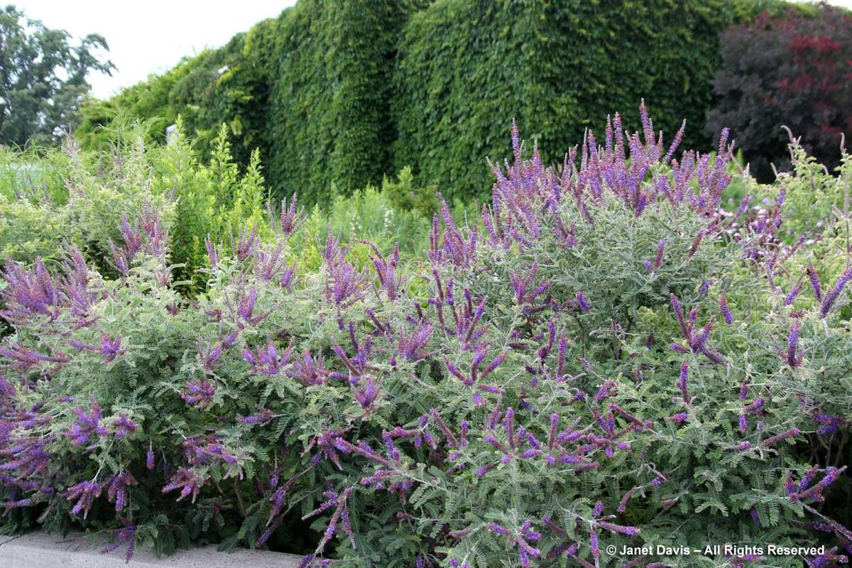 Natives-Amorpha canescens-leadplant-Piet Oudolf border-Toronto Botanical Garden