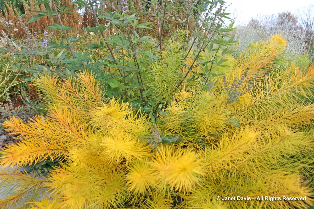 Natives-Amsonia hubrichtii & Vitex agnus-castus-Piet Oudolf border-Toronto Botanical Garden