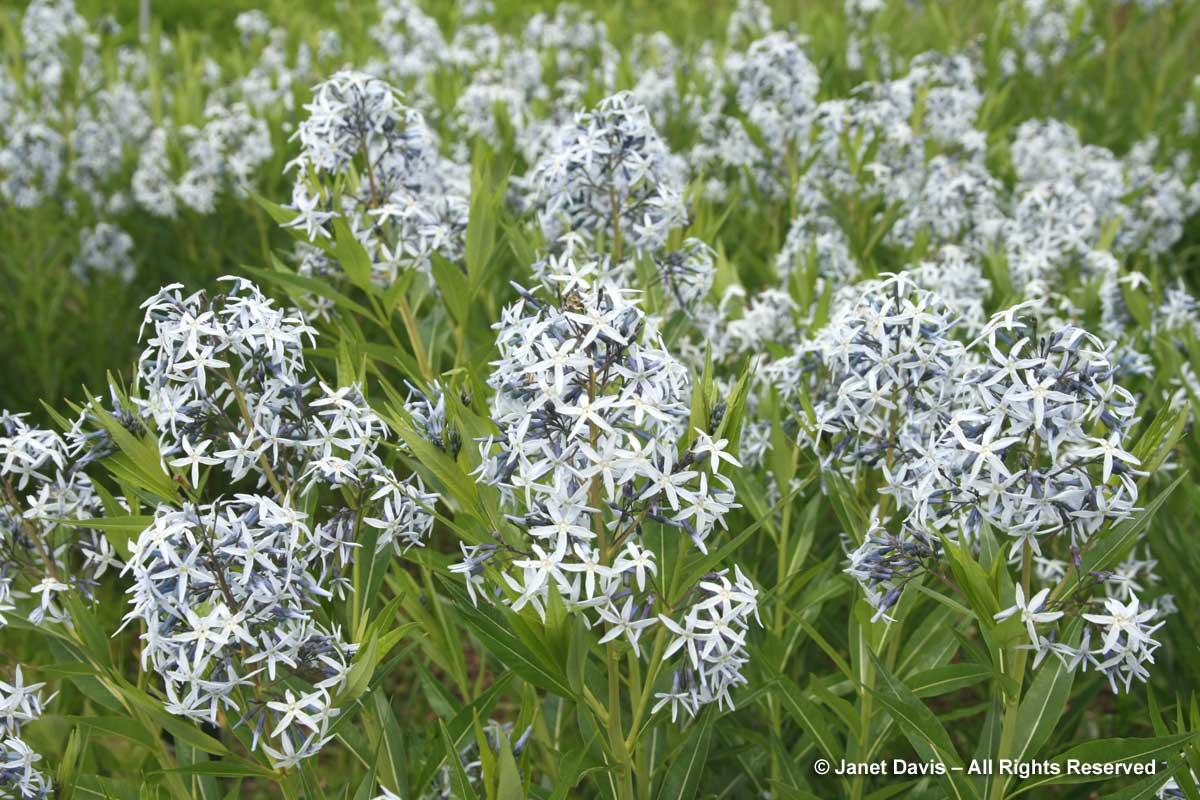Natives-Amsonia tabernaemontana var. salicifolia