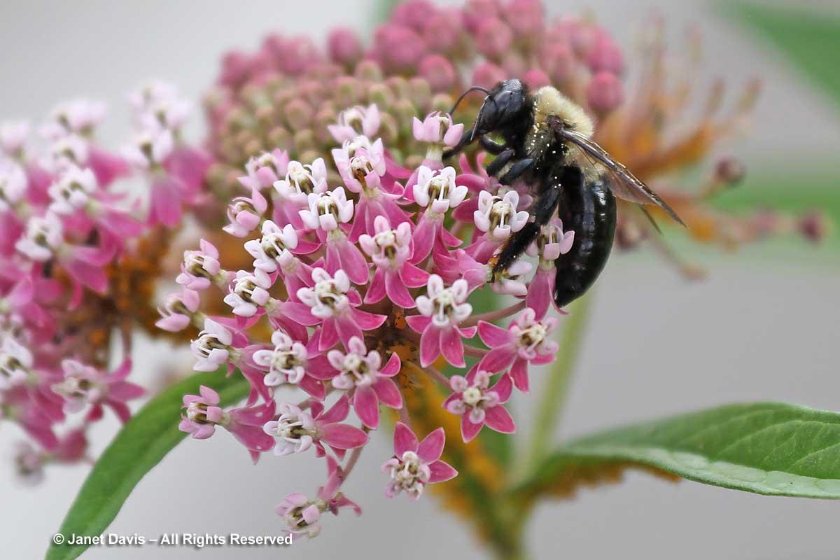 Natives-Asclepias incarnata & carpenter bee