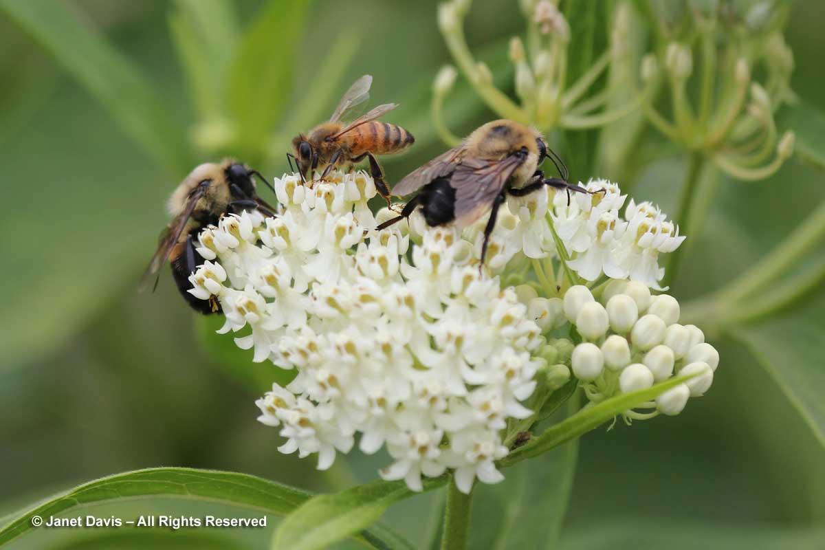 Natives-Bees on Asclepias incarnata 'Ice Ballet'