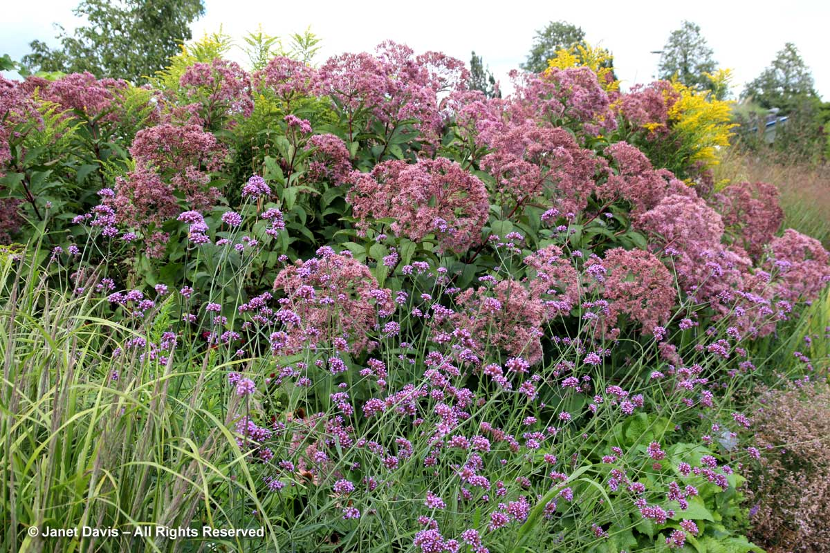Natives-Eutrochium maculatum 'Gateway'-Piet Oudolf border-Tornto Botanical Garden