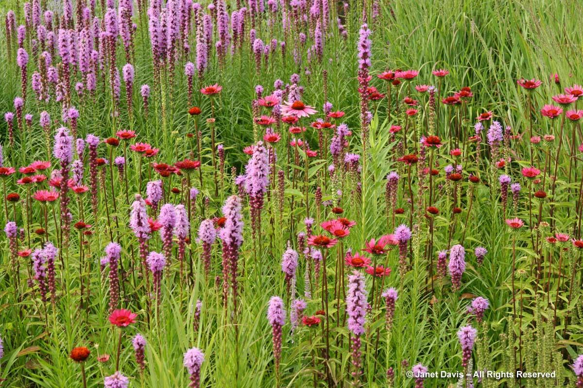 Natives-Liatris spicata & Echinacaea 'Vintage Wine'-Piet Oudolf introduction-Toronto Botanical Garden