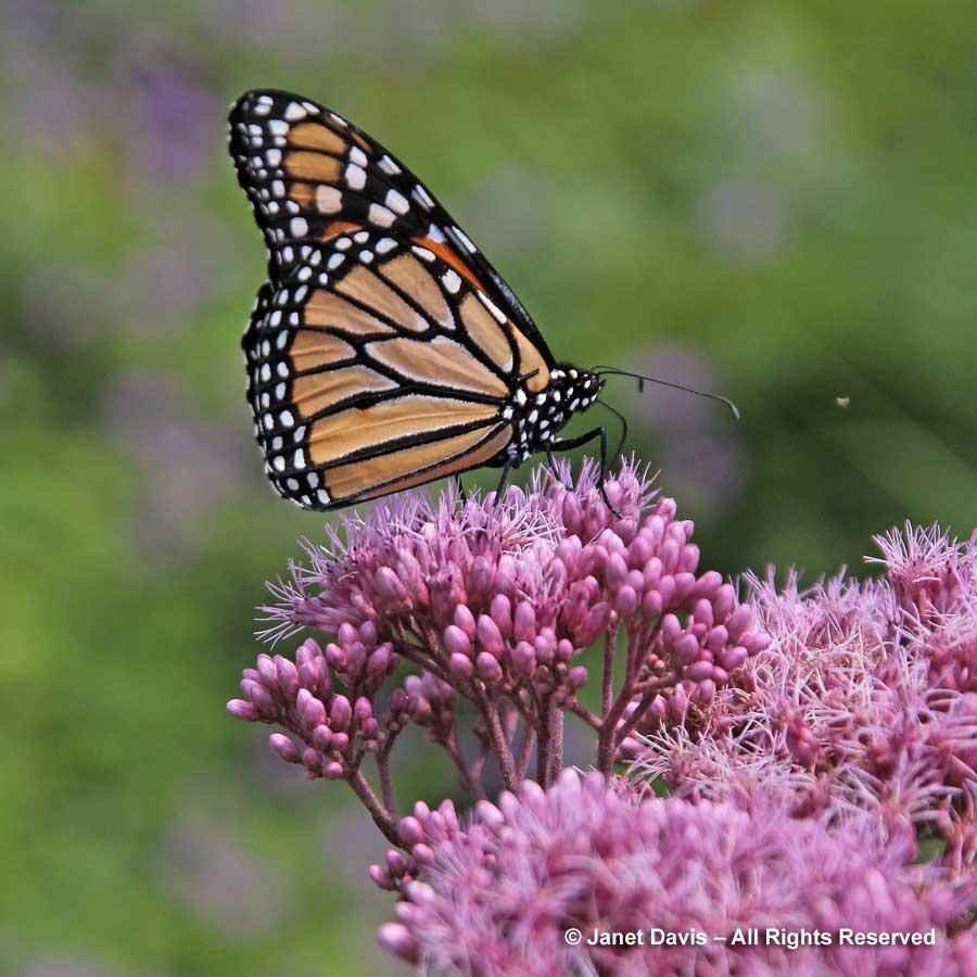 Natives-Monarch butterfly on Eutrochium maculatum 'Gateway'-Piet Oudolf border-Toronto Botanical Garden