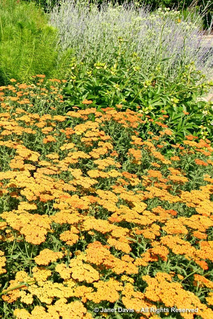 Pagels-Achillea 'Walther Funcke'-Piet Oudolf border-Toronto Botanical Garden