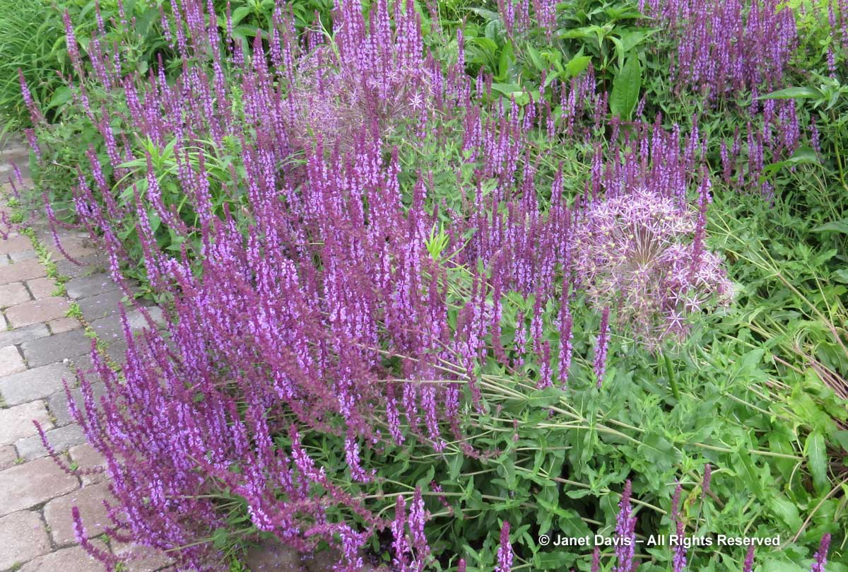Pagels-Salvia 'Amethyst'-Piet Oudolf Border-Toronto Botanical Garden