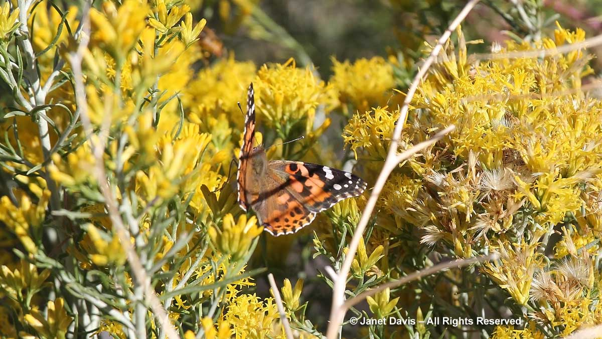 Painted lady-rabbitbush-Bighorn Mountains