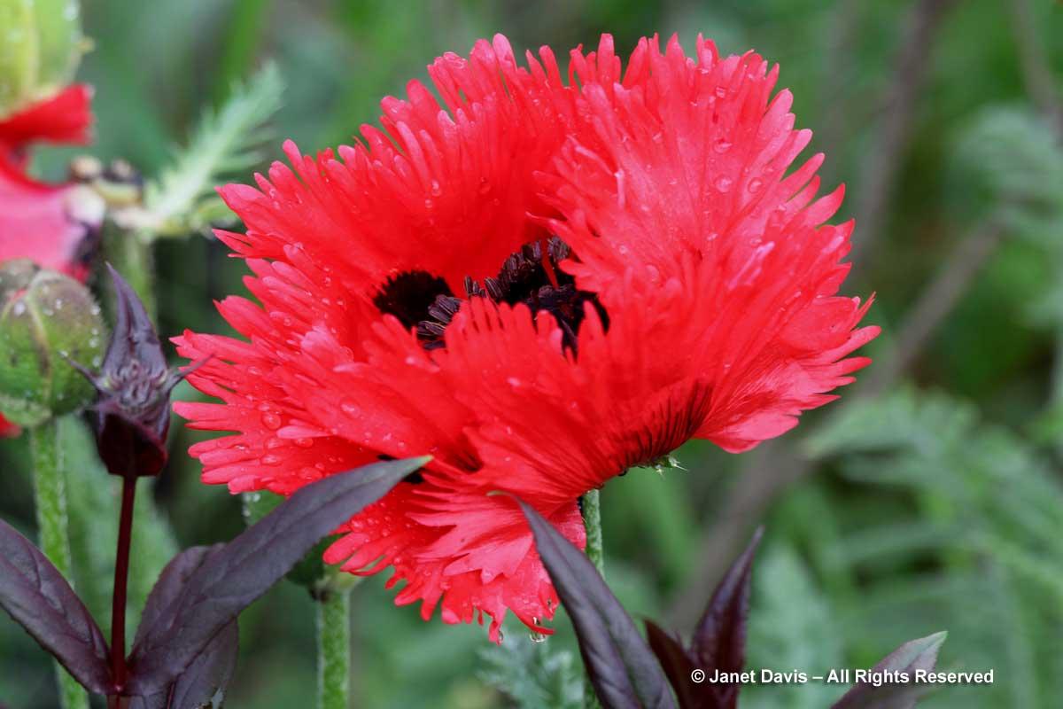 Papaver orientale 'Flamenco'