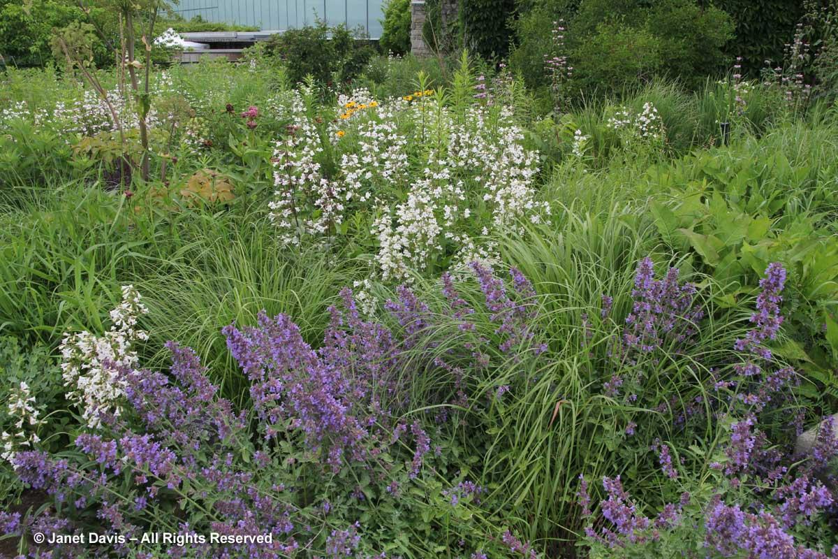 Penstemon digitalis-Piet Oudolf border-Toronto Botanical Garden