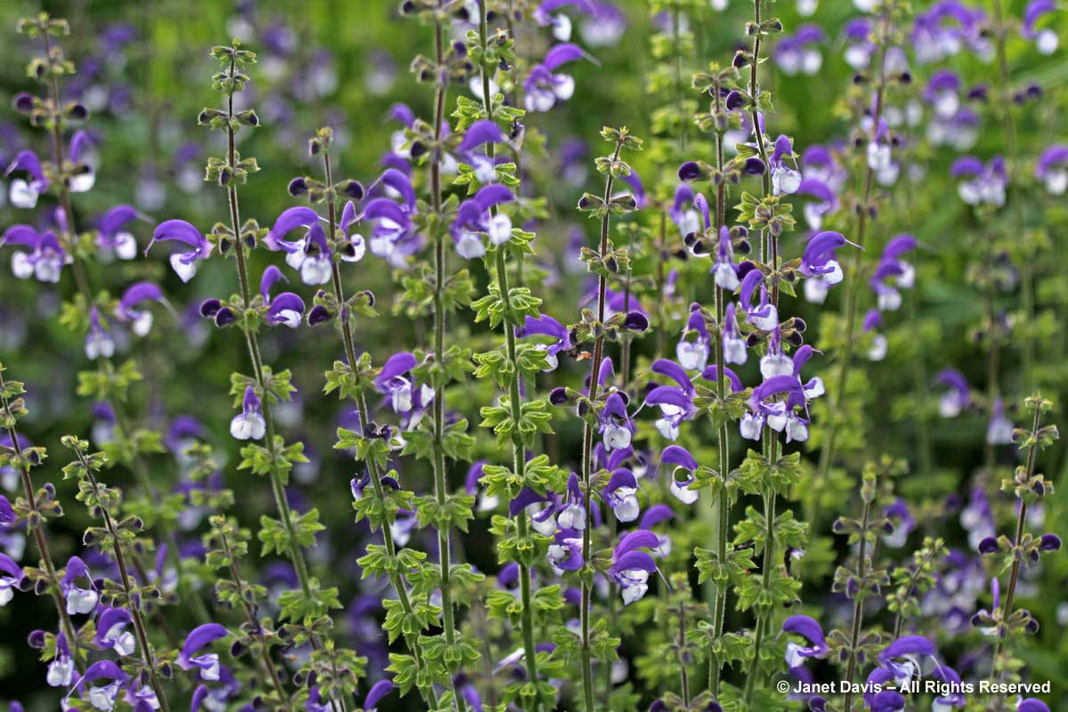 Piet Oudolf Introduction-Salvia 'Madeline'