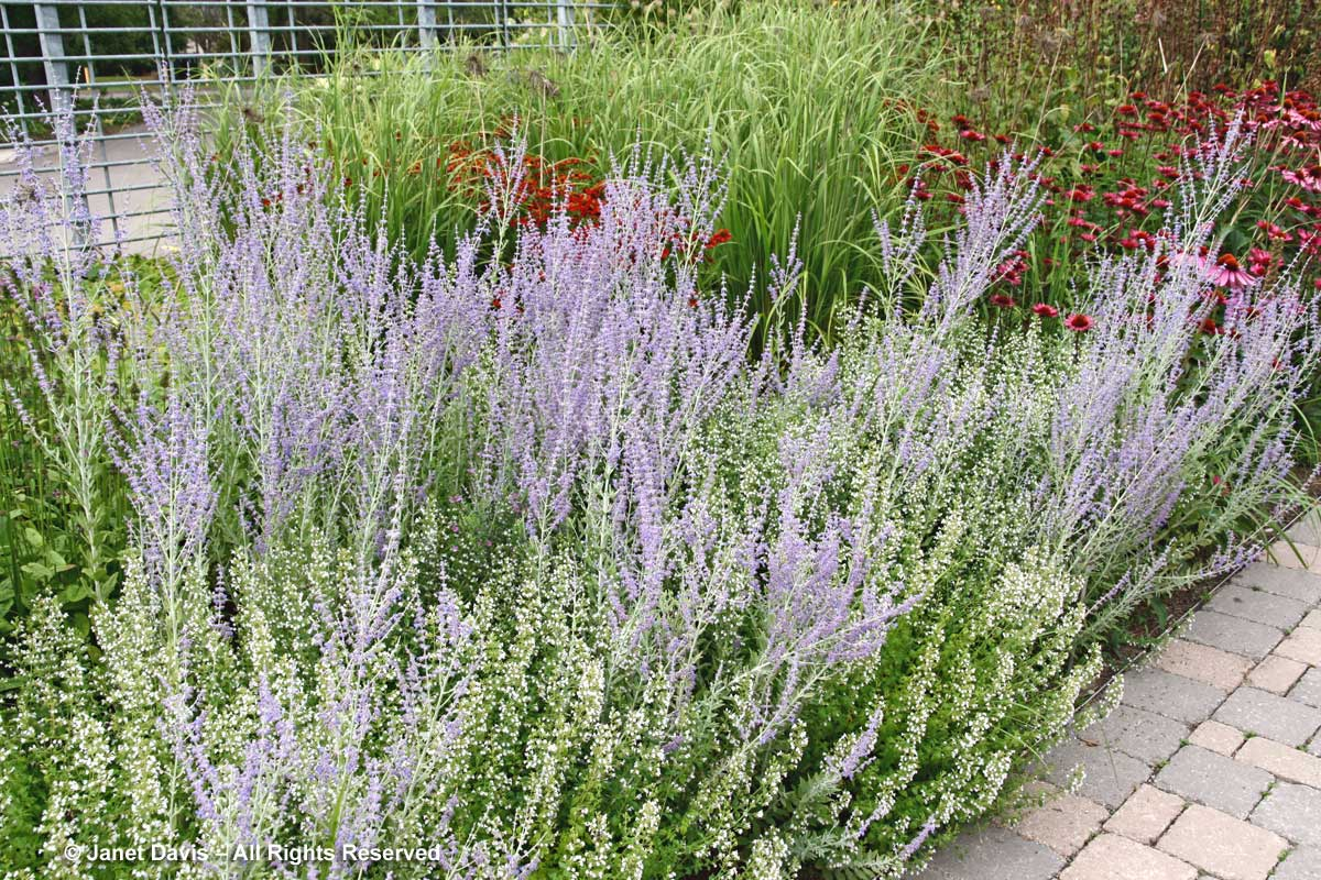 Piet Oudolf introduction-Perovskia 'Little Spire' with Calamintha nepeta