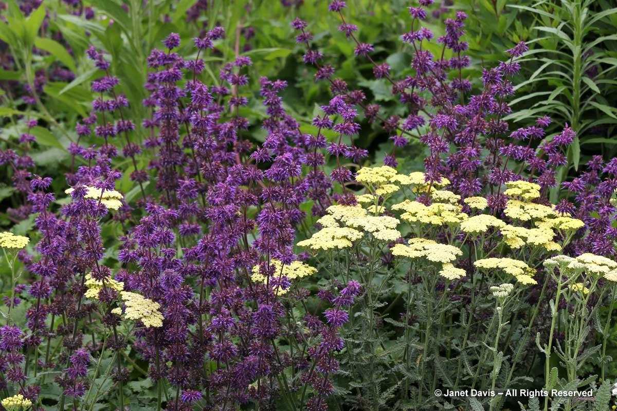 Piet Oudolf introduction-Salvia verticillata 'Purple Rain'