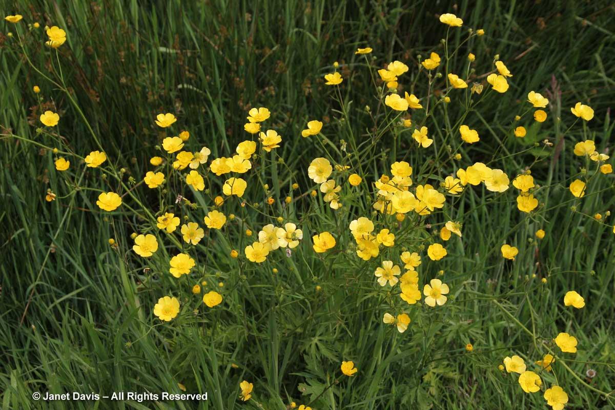 Ranunculus occidentalis-Western buttercup