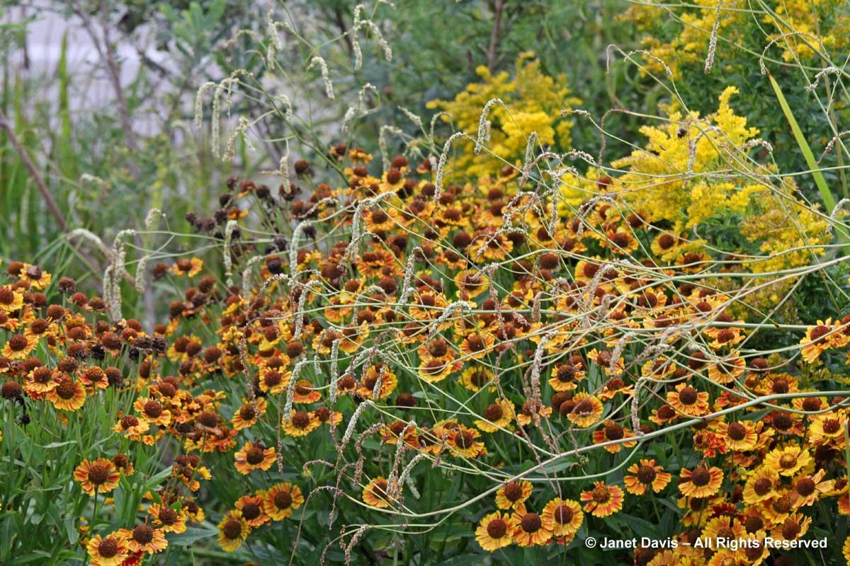 Sanguisorba tenuifolia 'Alba'-Helenium 'Fuego'-Piet Oudolf Border-Toronto Botanical Garden