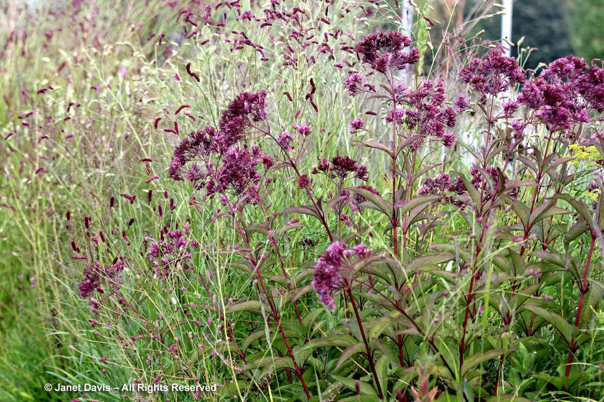 Sanguisorba tenuifolia 'Purpurea' & Eutrochium maculatum 'Gateway'-Piet Oudolf border-Toronto Botanical Garden