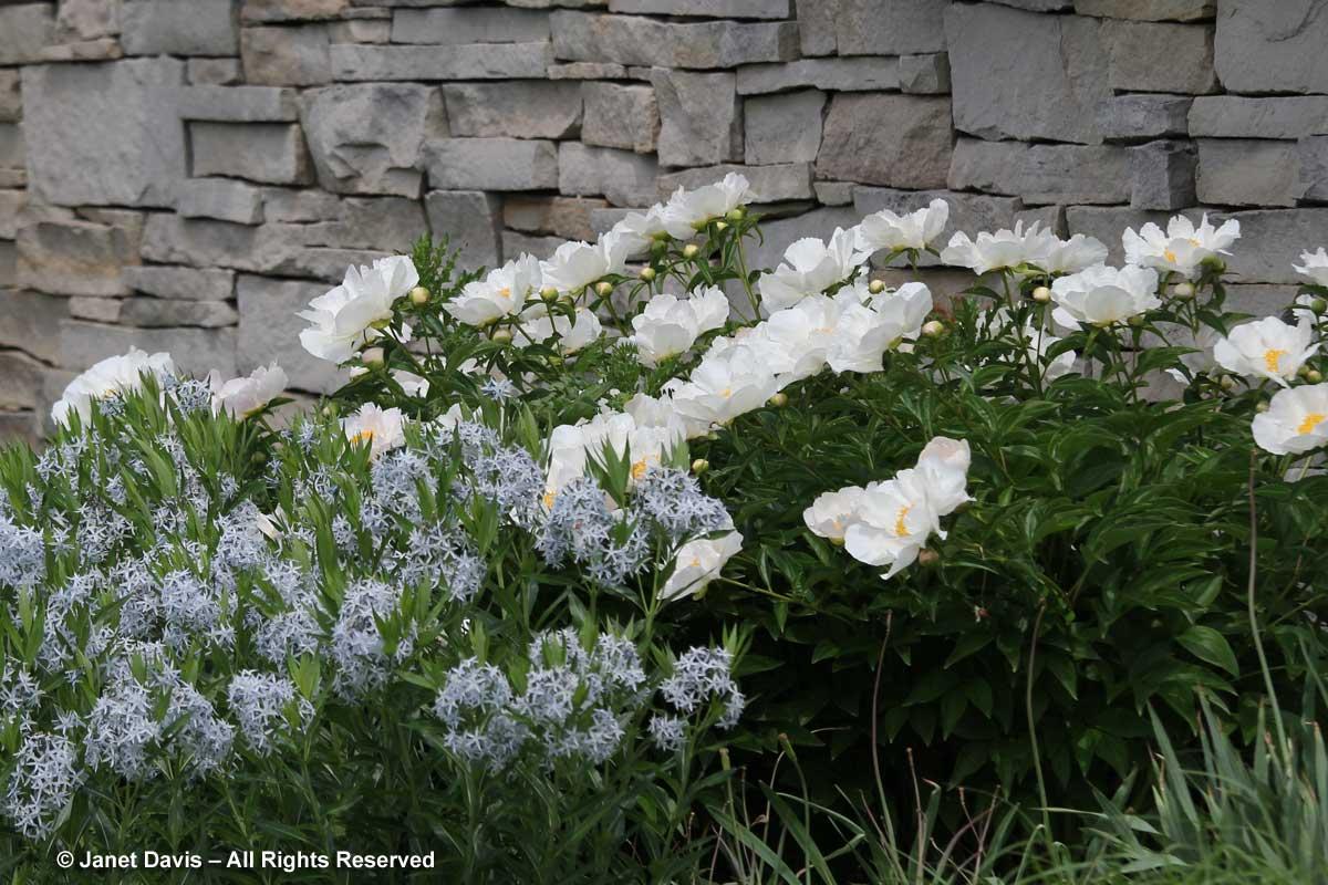 Seasonal 2a-Late spring-Paeonia 'Krinkled White' & Amsonia tabernaemontana var. salicifolia-Piet Oudolf Border-Toronto Botanical Garden
