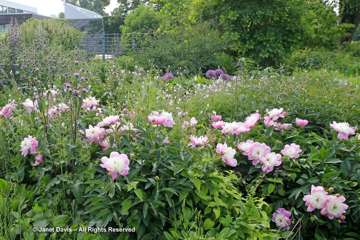 Seasonal 2b-Late spring-Paeonia 'Bowl of Beauty'-Piet Oudolf Border-Toronto Botanical Garden.