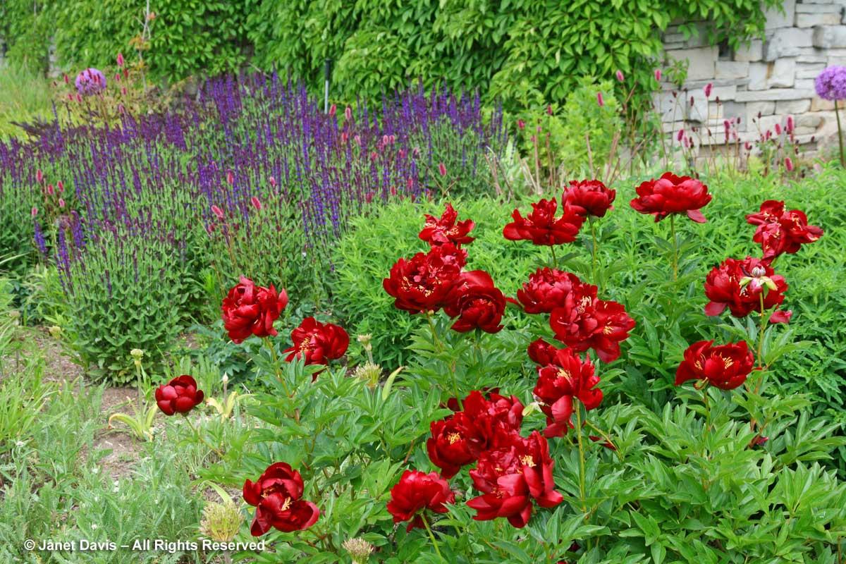 Seasonal 2c-Late spring-Paeonia 'Buckeye Belle' & Salvia-Piet Oudolf Border-Toronto Botanical Garden.