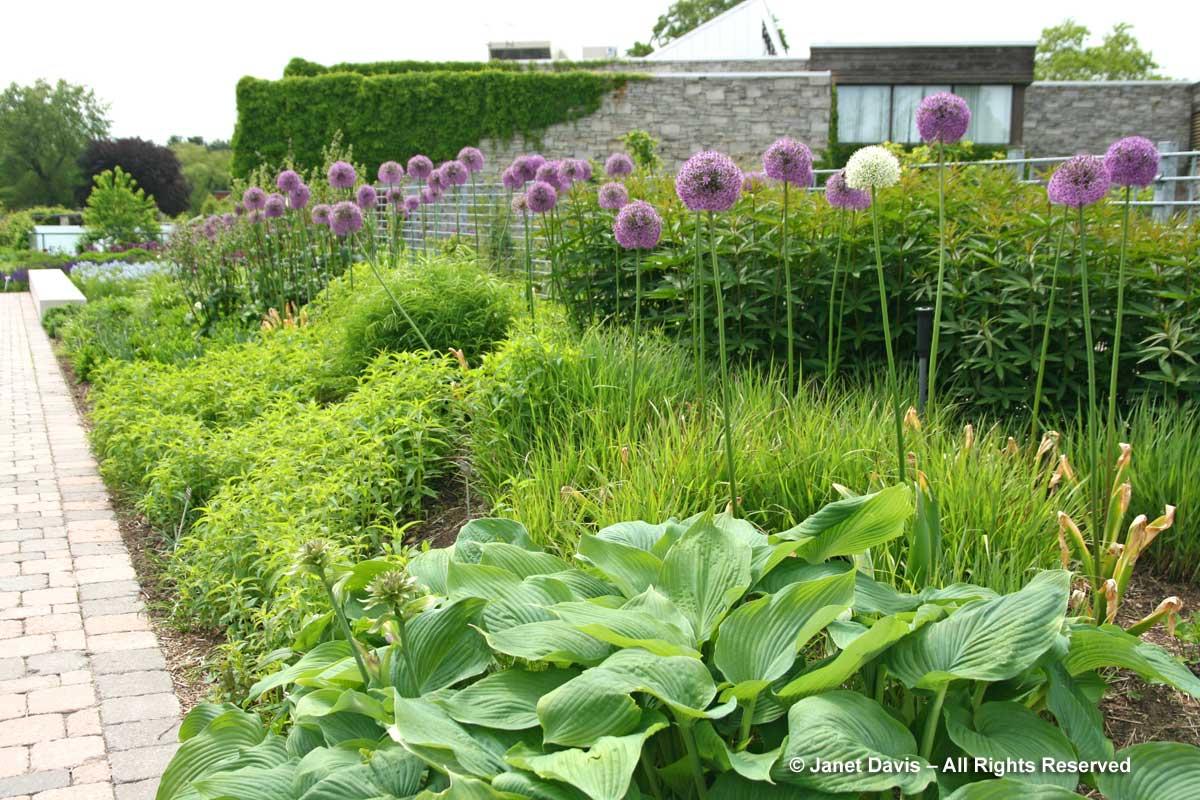 Seasonal 2d-Late spring-Alliums & Hosta 'Blue Angel'-Piet Oudolf entry border-Toronto Botanical Garden