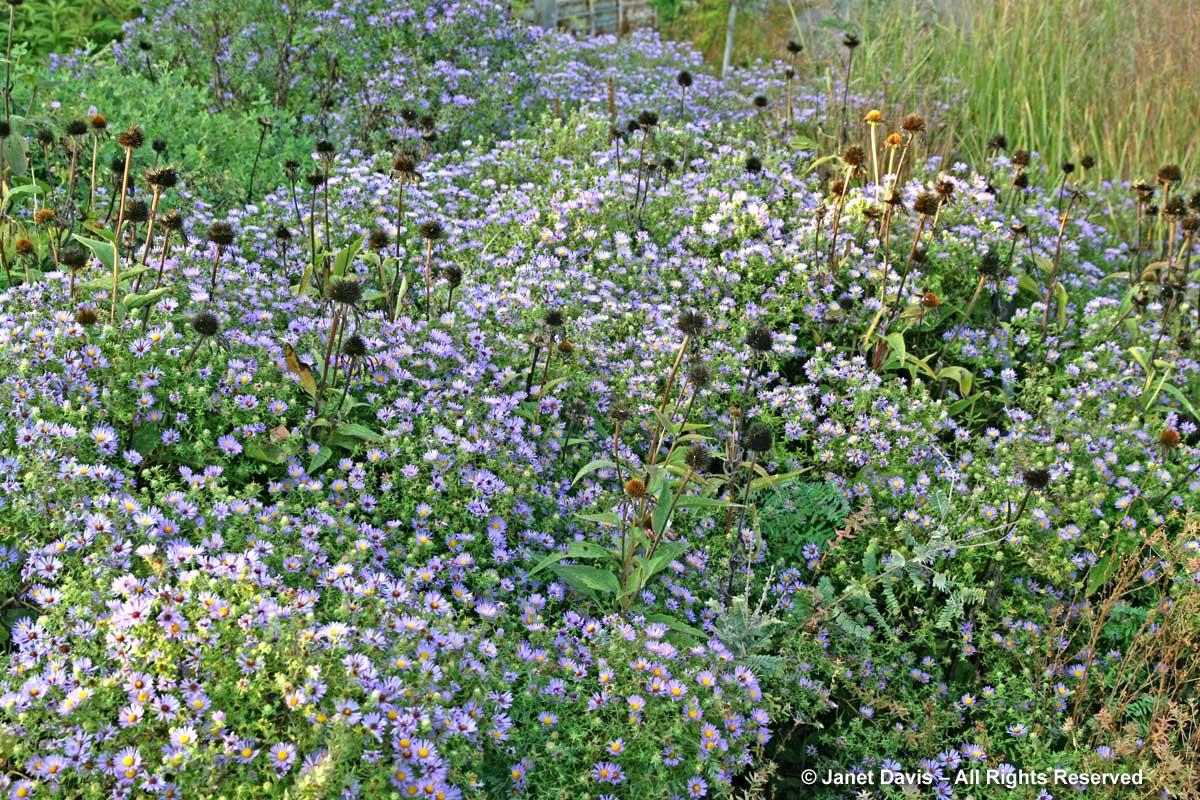 Seasonal 5b-Autumn-Symphyotrichum oblongifolium 'October Skies'
