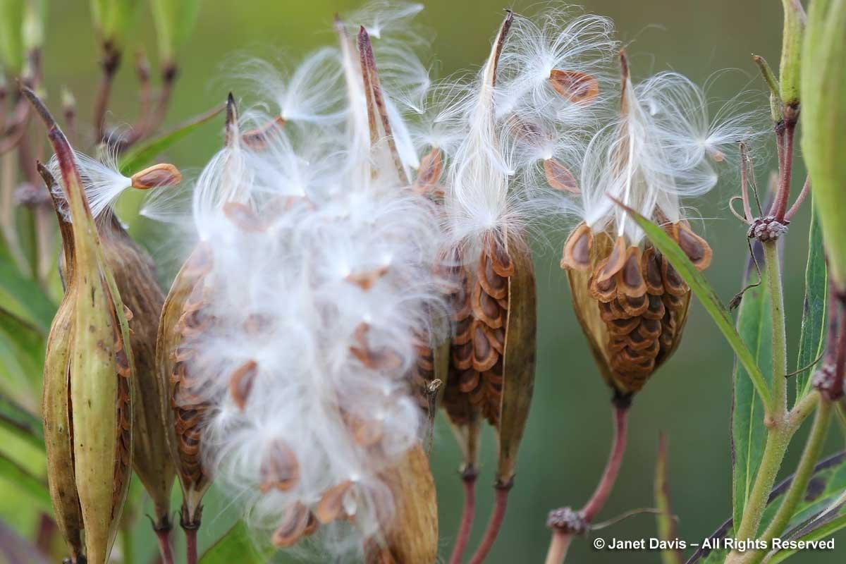 Seedheads-Asclepias-Piet-Ou
