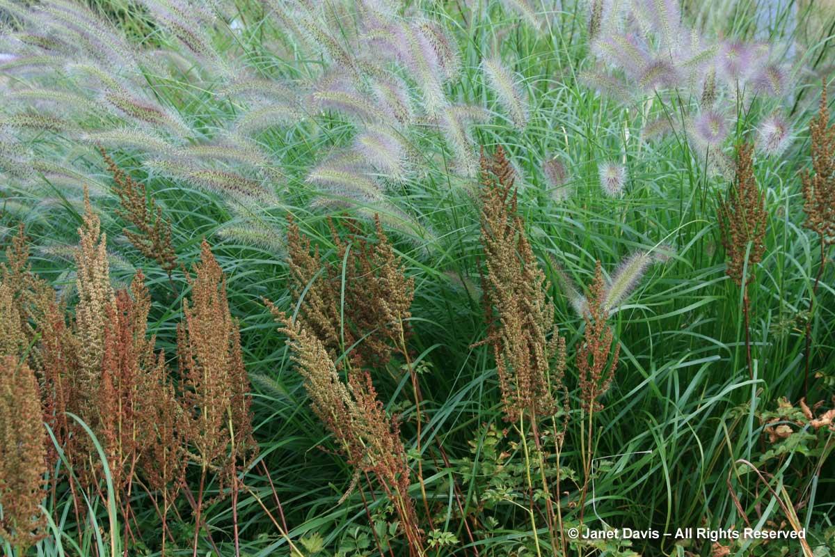 Seedheads-Astilbe
