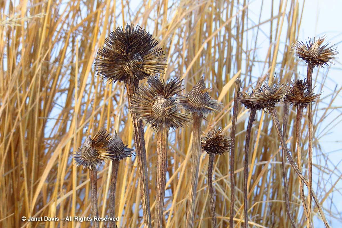 Seedheads-Echinacea-Piet Oudolf-Toronto Botanical Garden