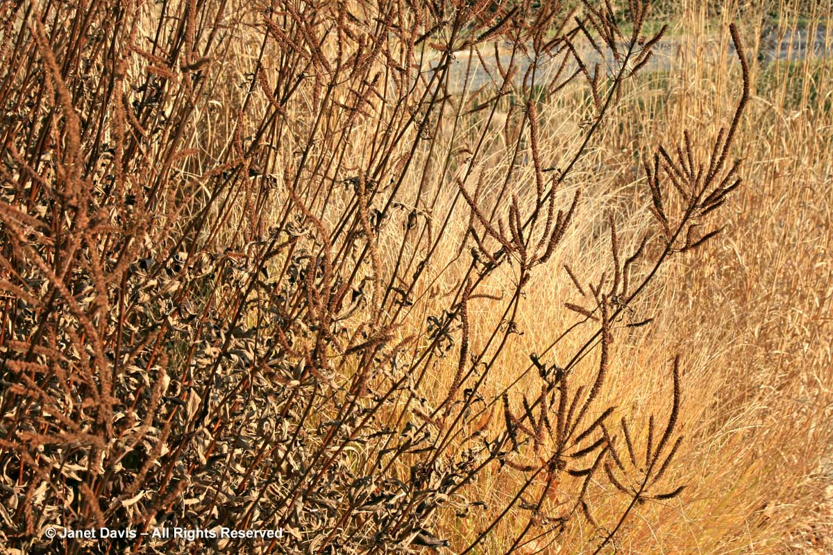 Seedheads-Veronicastrum-virginicum-'F