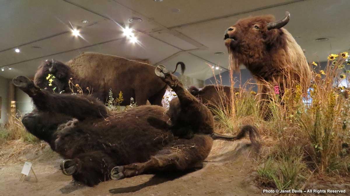 Taxidermy Bison Exhibit