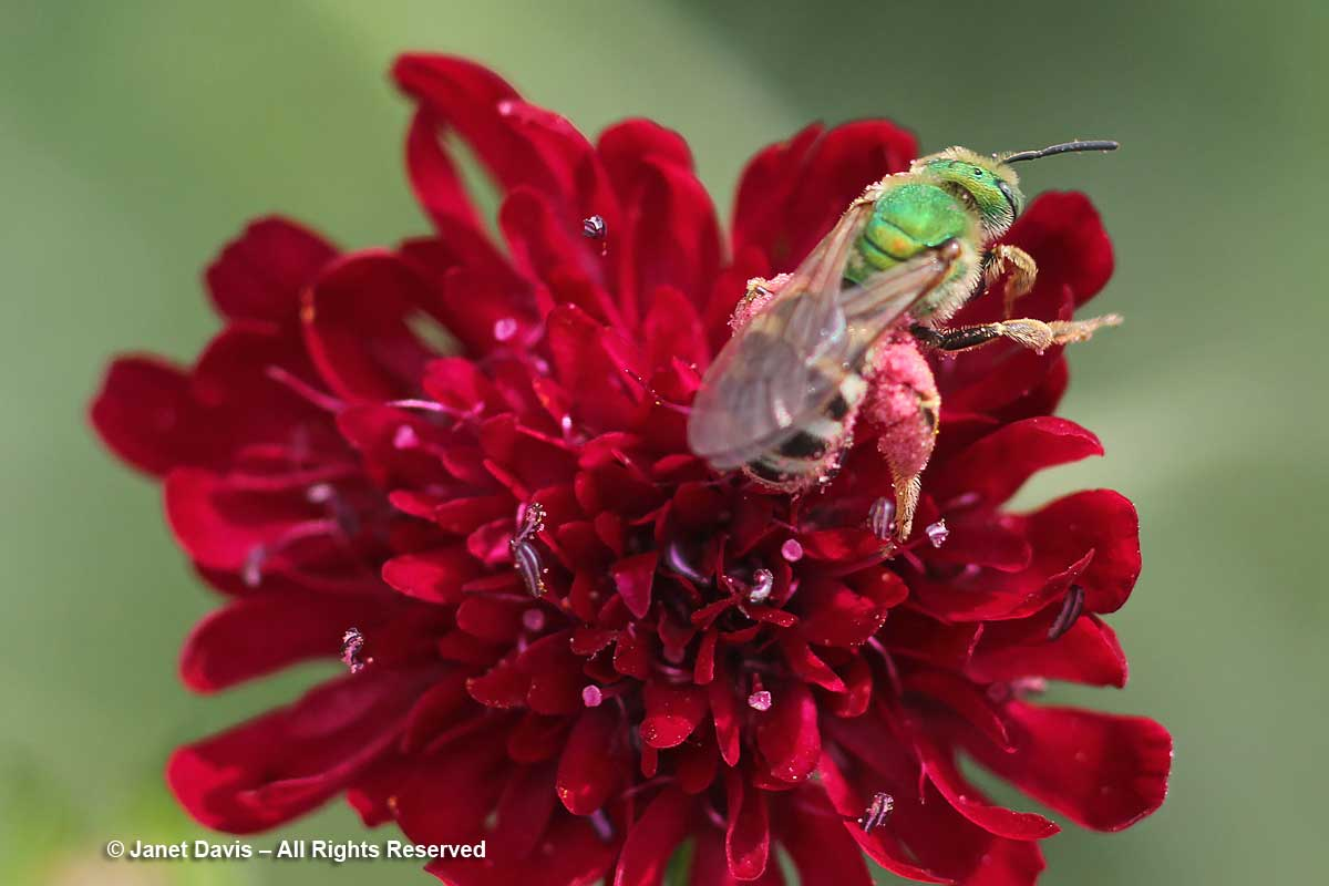 Agapostemon virescens on Knautia macedonica-Toronto