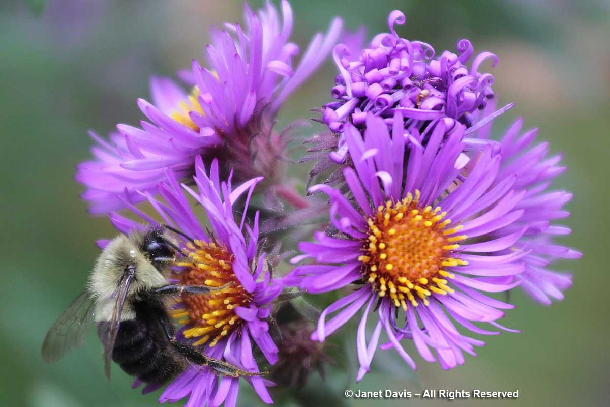 Bombus impatiens on Symphyotrichum novae-angliae-Toronto