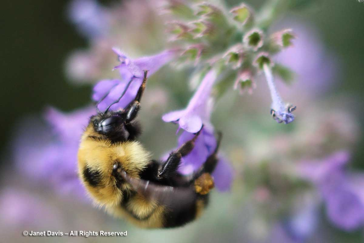 Bombus on Nepeta racemosa 'Walker's Low'-Toronto