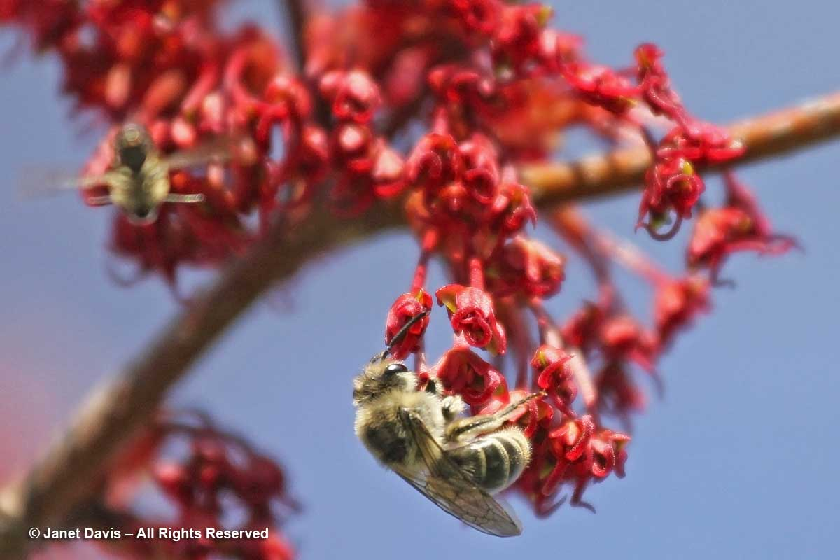 Colletes inaequalis on Acer rubrum-Toronto