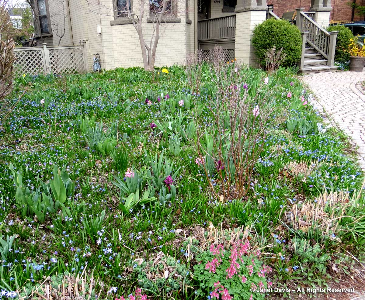 Front Meadow-April 20-scilla