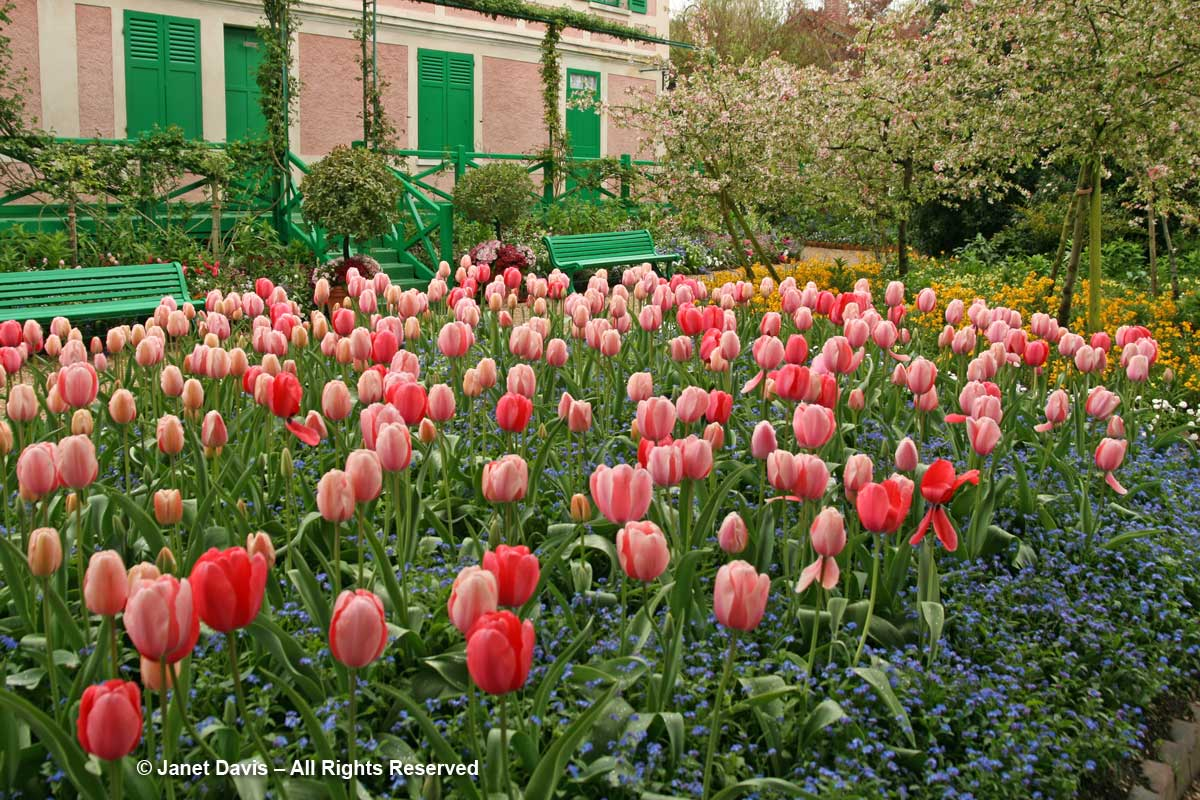 Giverny-Monet's Garden-Myosotis sylvatica-Forget-me-nots under tulips