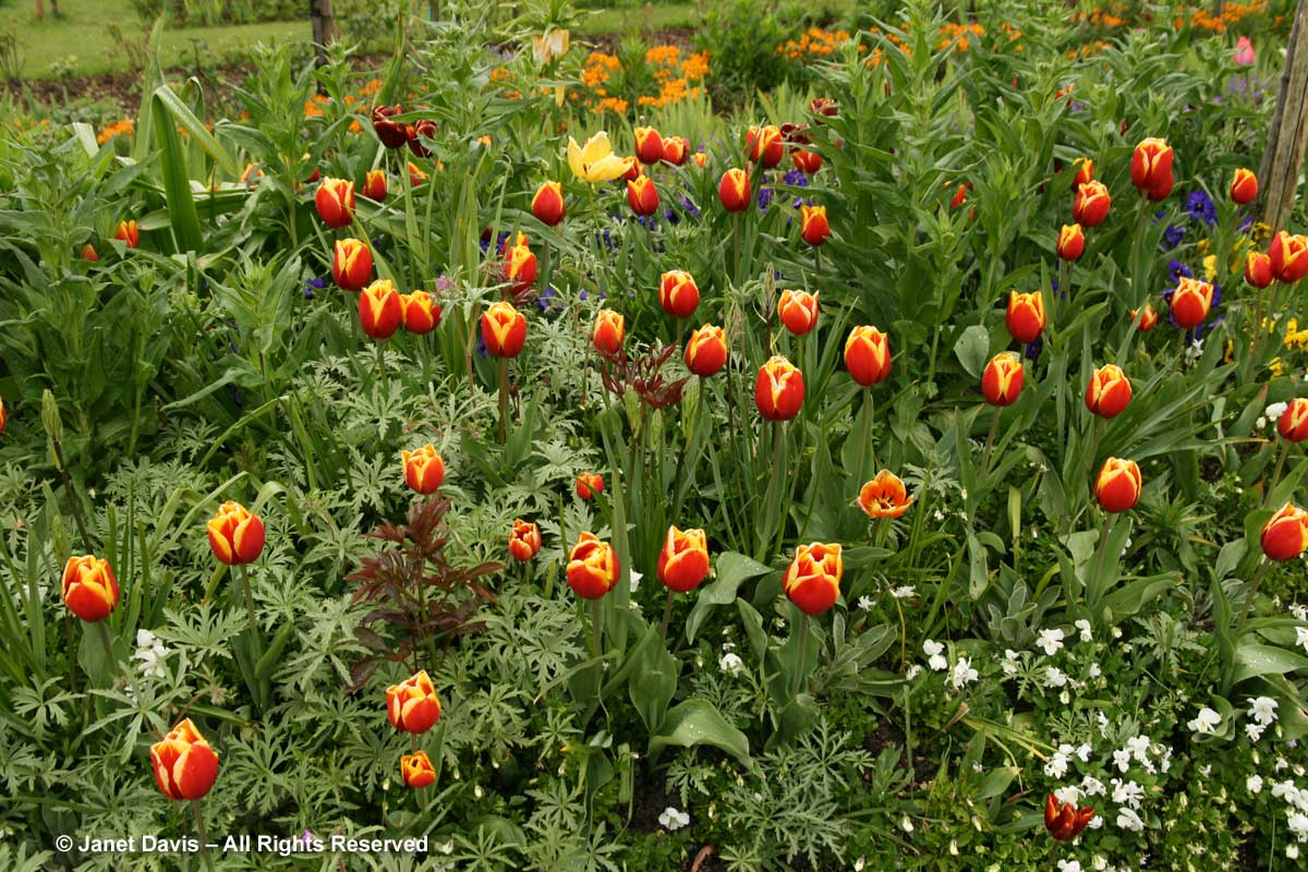 Giverny-Monet's Garden-Red & Yellow tulips