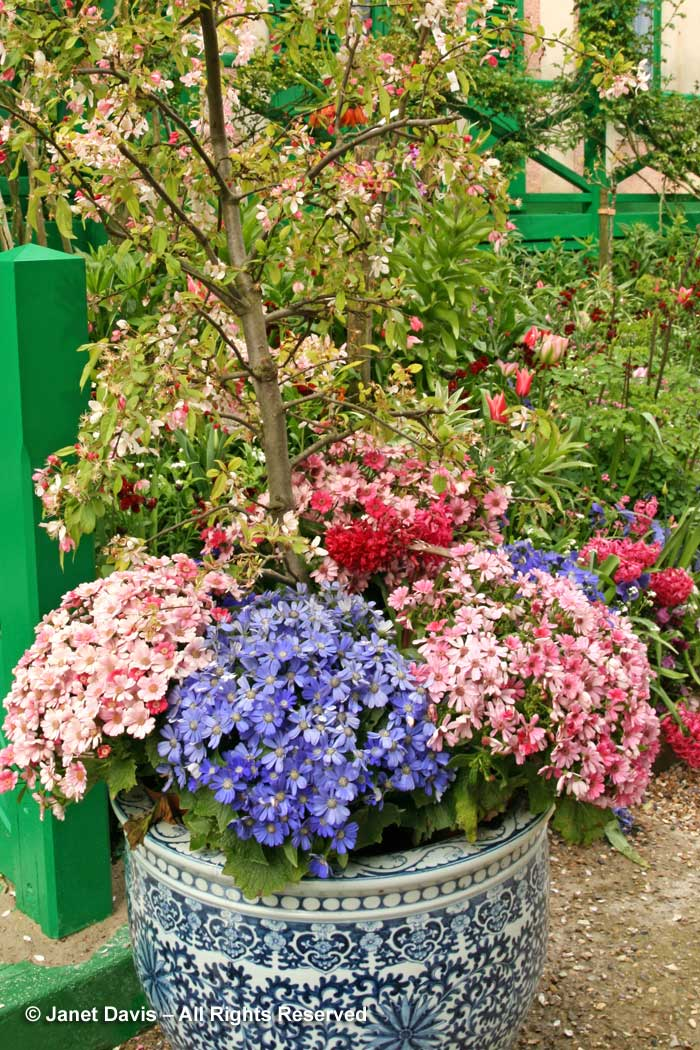 Giverny-Monet's Garden-pots of cineraria-spring