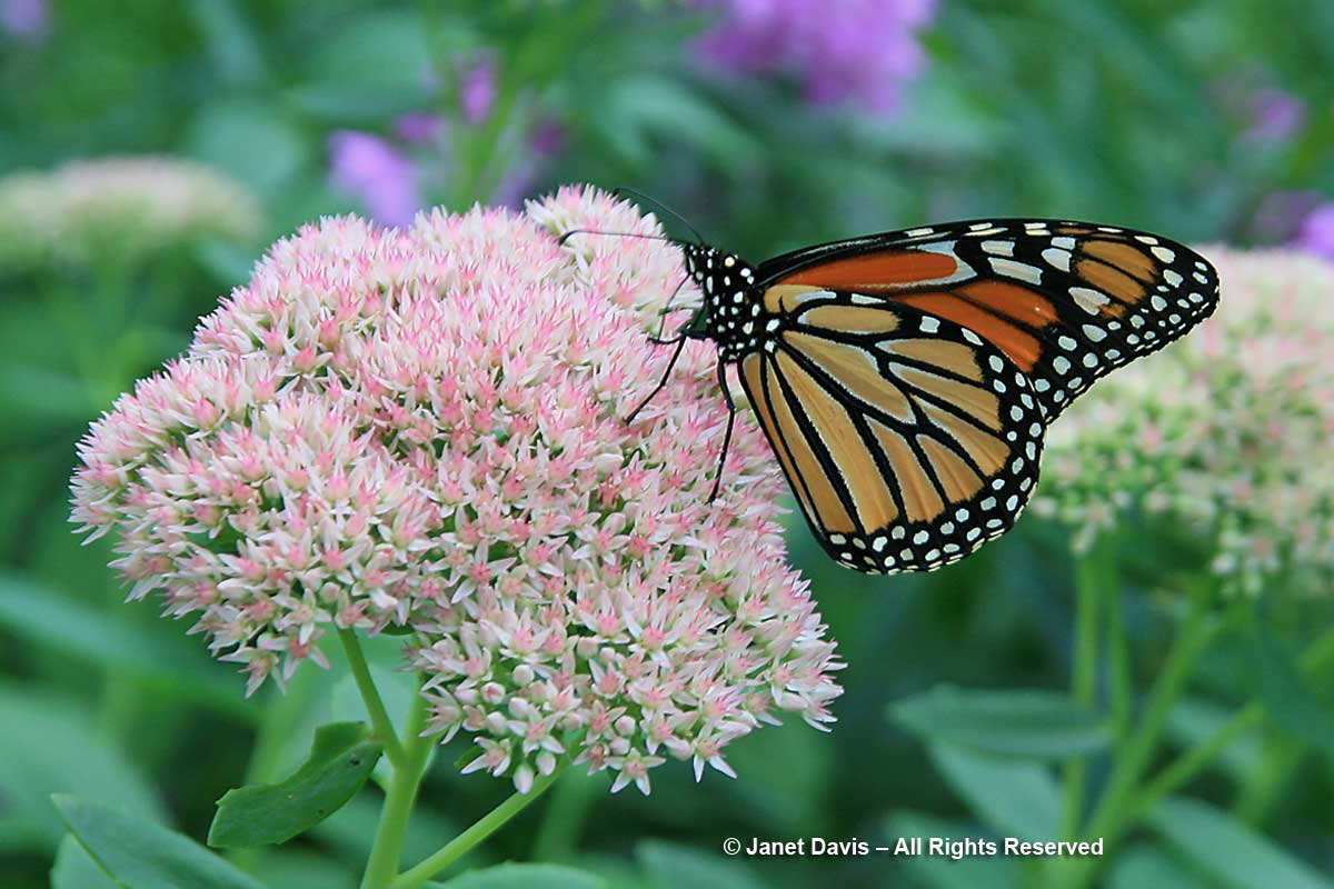 Monarch-on-Sedum-'Autumn-Jo