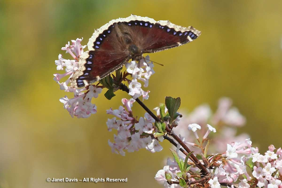 Mourning cloak butterfly-Nymphalis antiopa-on Viburnum farreri