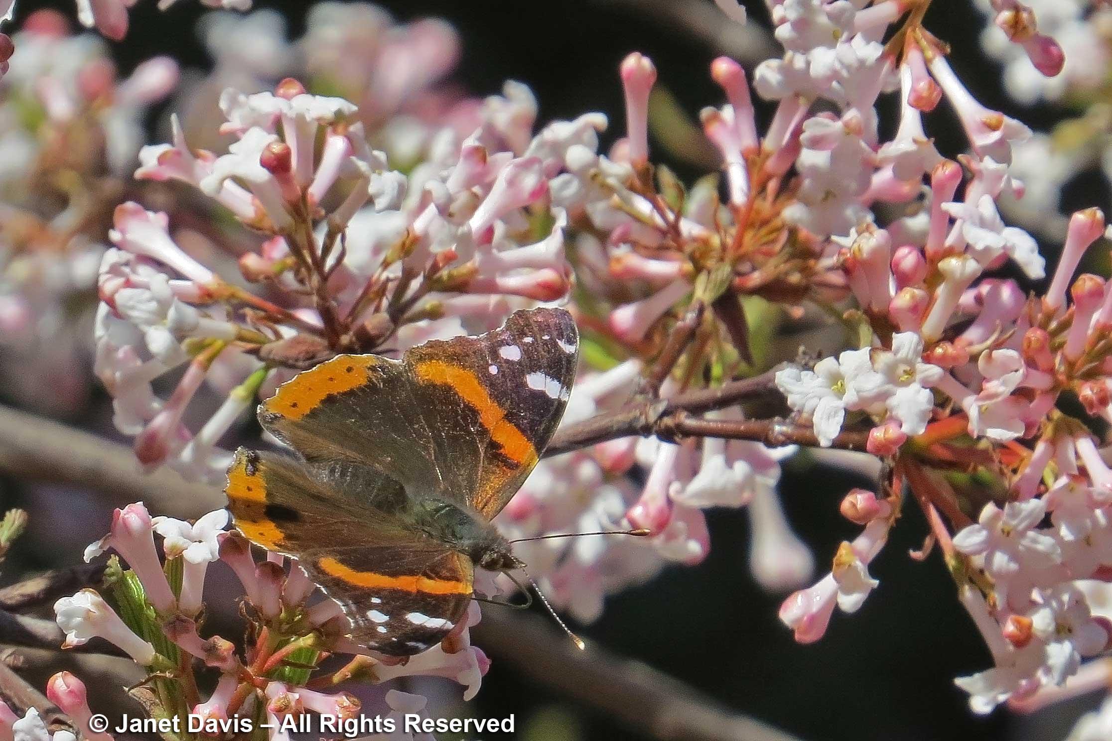 Red admiral butterfly-Vanessa atalanta-on Viburnum farreri