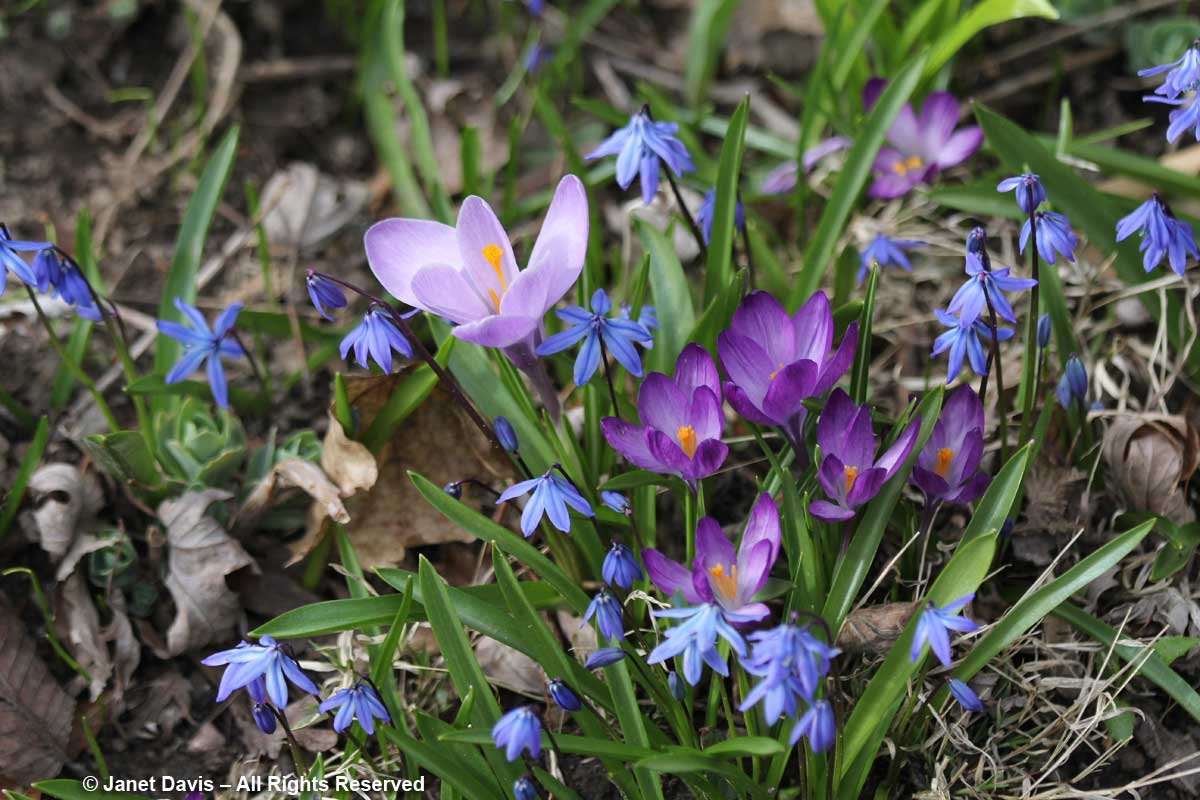 Scilla siberica and crocuses