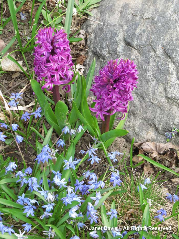 Scilla siberica and hyacinth