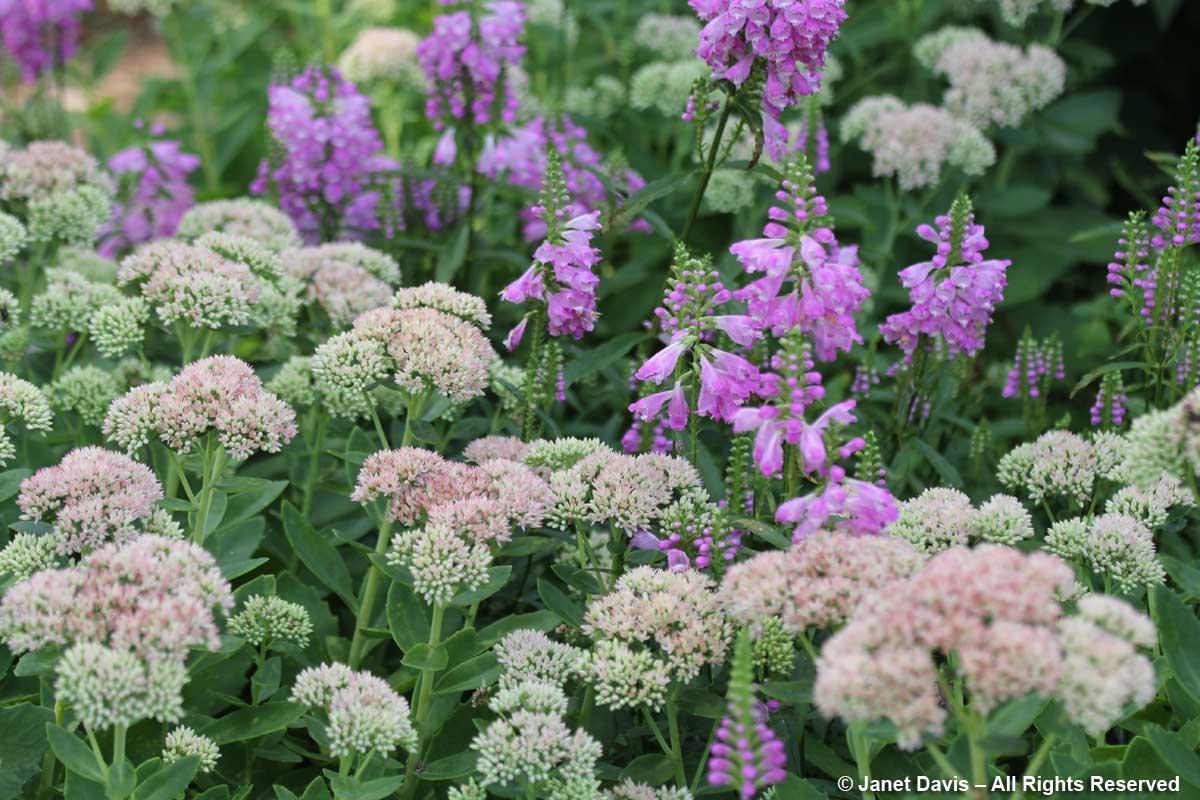 Sedum 'Autumn Joy' & Physostegia virginiana