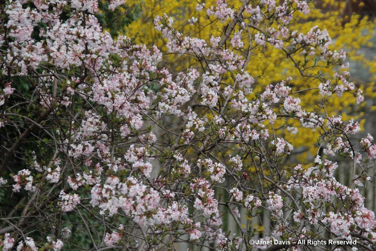 Viburnum farreri-Fragrant viburnum