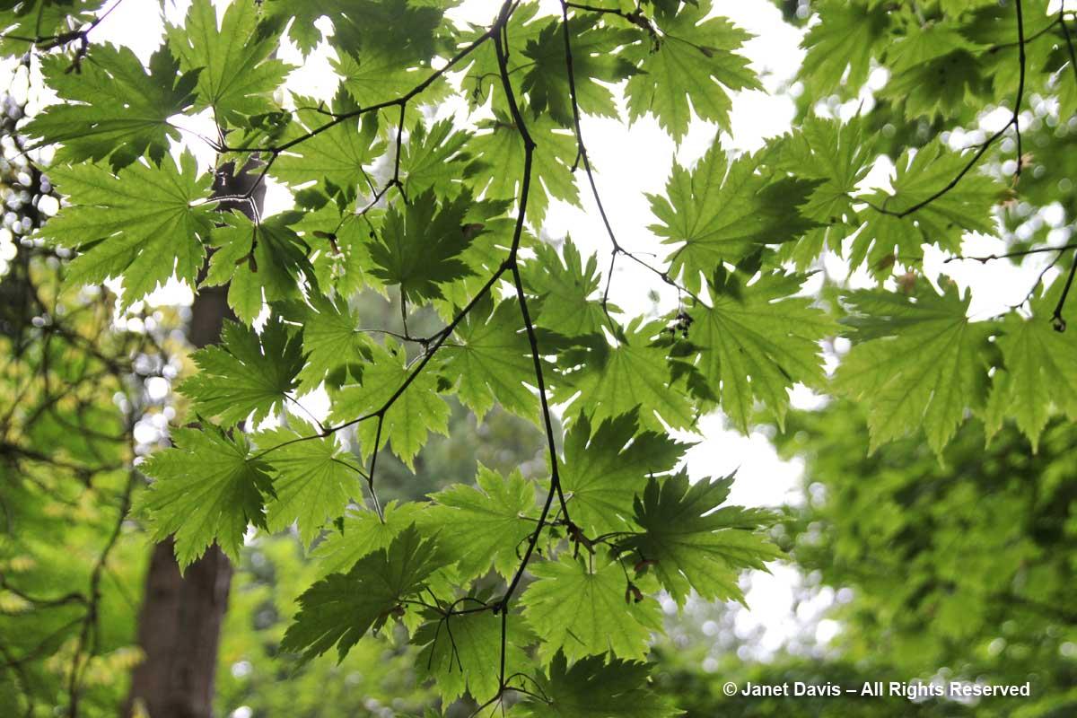 Acer japonicum'O-isami'-David Lam Asian Garden-UBC Botanical
