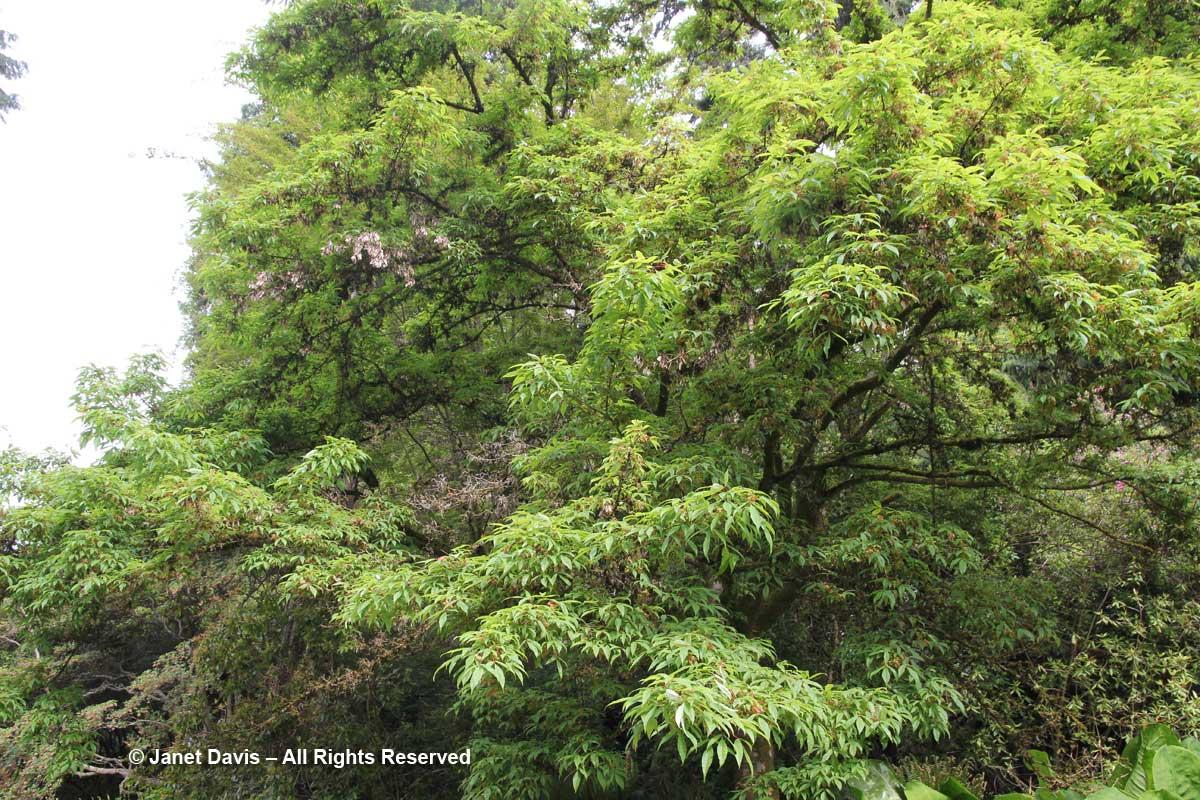 Acer mandshuricum-David Lam Asian Garden-UBC Botanical