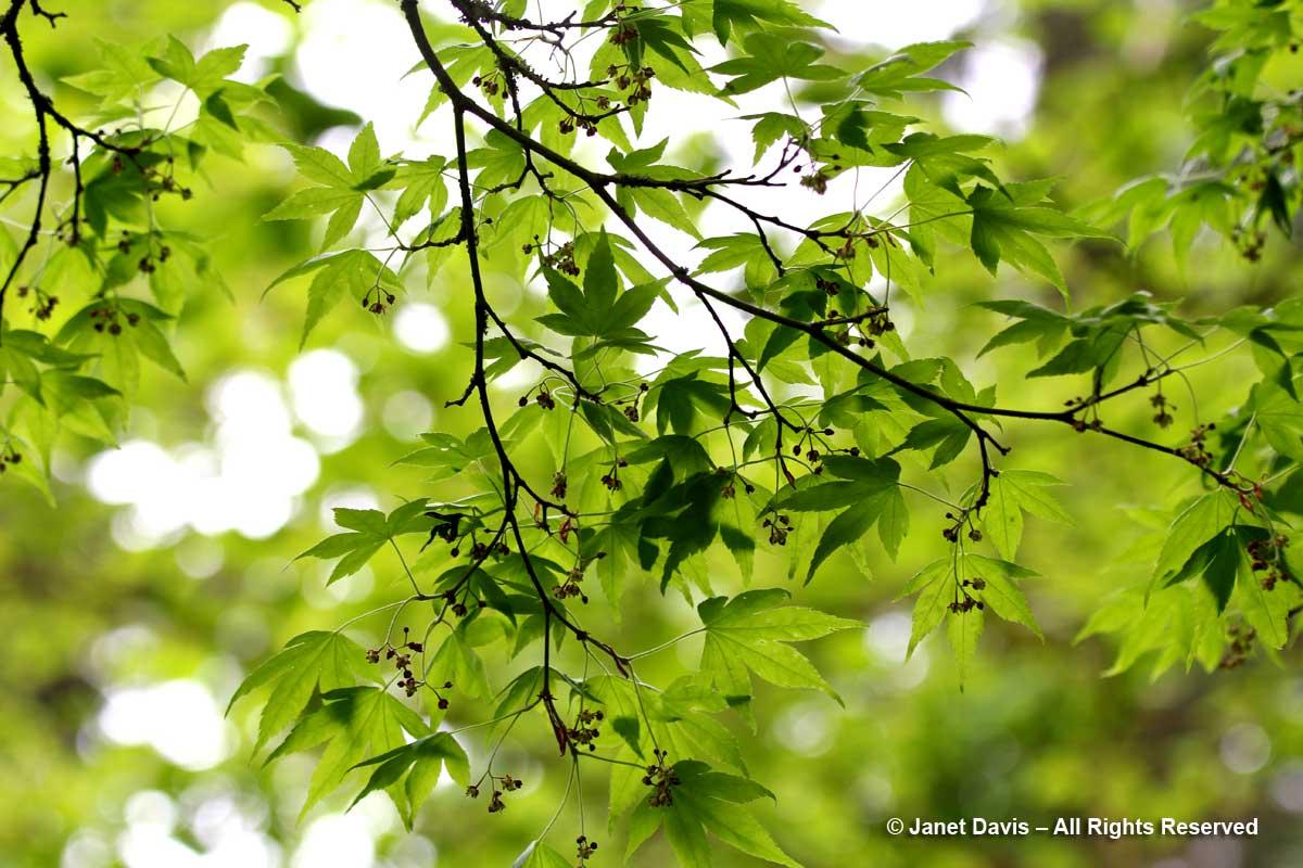 Acer pauciflorum-David Lam Asian Garden-UBC Botanical
