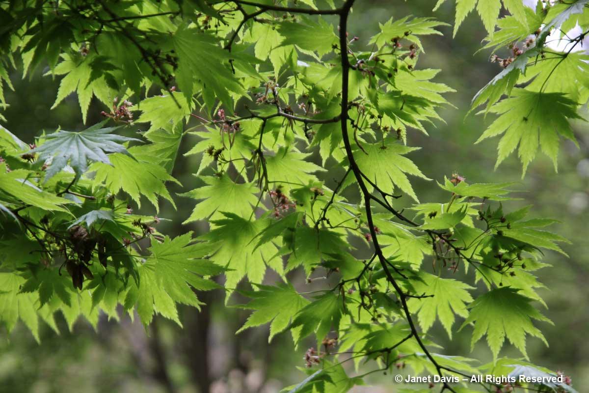 Acer shirasawanum 'Palmatifolium'-David Lam Asian Garden-UBC Botanical