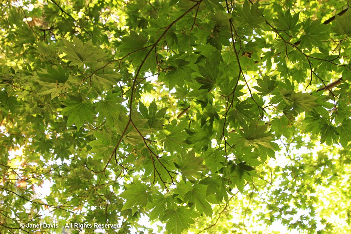 Acer sieboldianum-David Lam Asian Garden-UBC Botanical