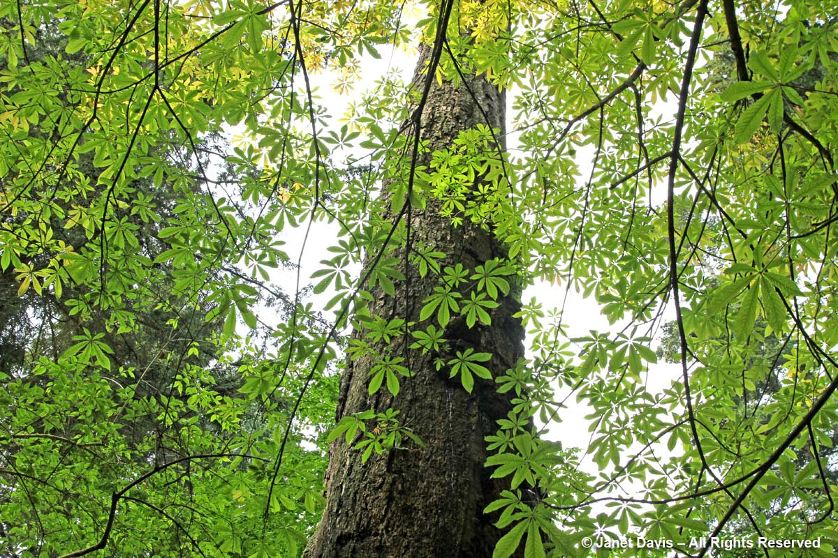 Aesculus assamica-David Lam Asian Garden-UBC Botanical